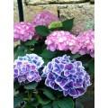 Гортензия крупнолистная (садовая)  (16)