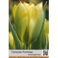 Зеленоцветные тюльпаны (5)