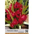 Тюльпан карликовый (humilis) (2)