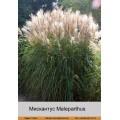 Мискантус (Miscanthus)  (1)