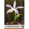 Орхидея (Pleione)