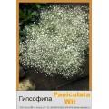Гипсофила (Gypsophila)