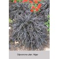 Офиопогон (Ophiopogon) (1)