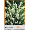 Дицентра (Dicentra) (8)