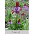 Примула (Primula) (3)