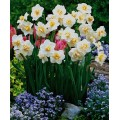 Нарцис Многоцветковый