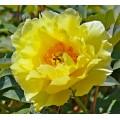 Древовидный пион (Paeonia) Голландия  (3)