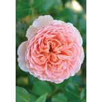 Роза Abraham Derby