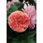 Роза Chippendeil