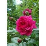 Роза Lagoon