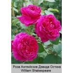 Роза William Shakespeare