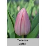 Тюльпан Aafke
