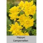 Нарцисс Campernellen  (odorus plenus)