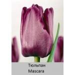 Тюльпан Mascara