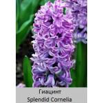 Splendid Cornelia