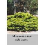 можжевельник пфитцера Gold Goast
