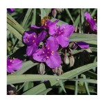 Традесканция (Tradescantia) 	Purple Dome