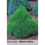 Ель  сизая Alberta Globe