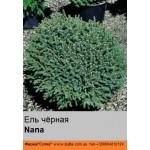 Ель  чёрная Nana