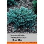 Можжевельник горизонтальный Blue Chip