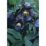 Морозник (Helleborus) Dark as Night