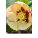 Морозник (Helleborus) Winter Emotions Apricot Picotee®