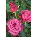 Роза Blue Berry