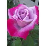 Роза Paradise