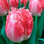 Тюльпан бахромчатый Neglige
