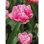 Тюльпан махровый поздний Up Pink