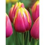 Тюльпан триумф Royal van der Mark