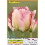 Тюльпан махровый поздний Angelique