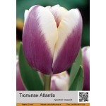 Тюльпан простой поздний Atlantis