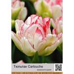 Тюльпан Cartouche
