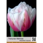 Тюльпан махровый поздний Melrose