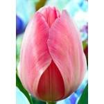 Тюльпан Mystic van Eyk