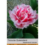 Тюльпан бахромчатый Queensland