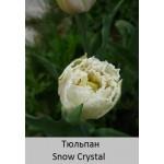 Тюльпан бахромчатый Snow Crystal