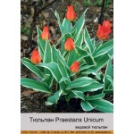 Тюльпан Unicum Praestans