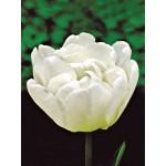 Тюльпан махровый ранний Mondial