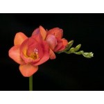 Фрезія (Freesia) Red Beauty