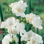 Фрезія (Freesia) Virginia