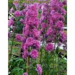Дельфиниум (Delphinium) Highlander Flamenco®
