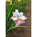 Ирис сибирский (Iris sib.) Sugar Rush