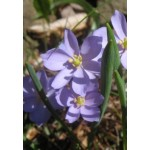 Джефферсония (Jeffersonia) diphylla
