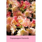 Рододендрон Flautando