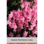 Азалия Kermesina rosea
