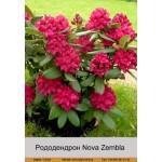 Рододендрон Nova Zembla