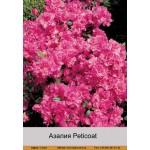 Азалия Peticoat