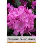 Рододендрон Roseum eleganse